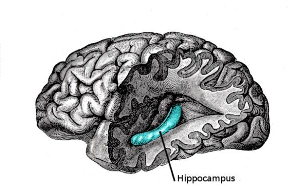 El hipocampo es la zona más dañada por los ataques epilépticos.