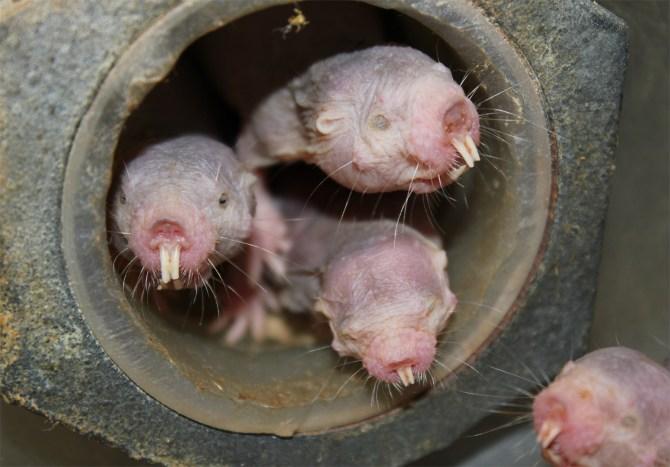 ratopín rasurado