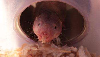 ratopín rasurado, sordera de la rata topo desnuda