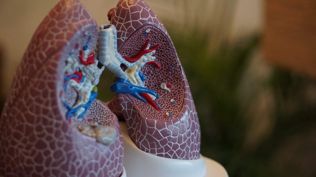 anatomía, cuerpo humano, pulmón, cuerpo,