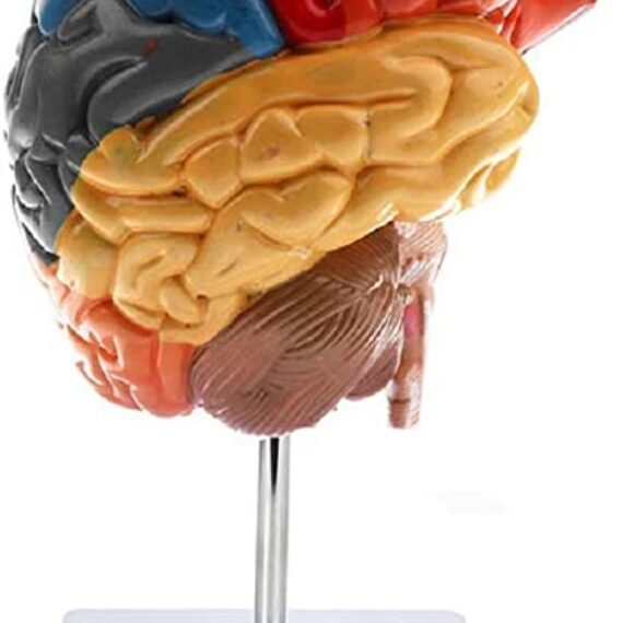 cerebro anatómico vertical