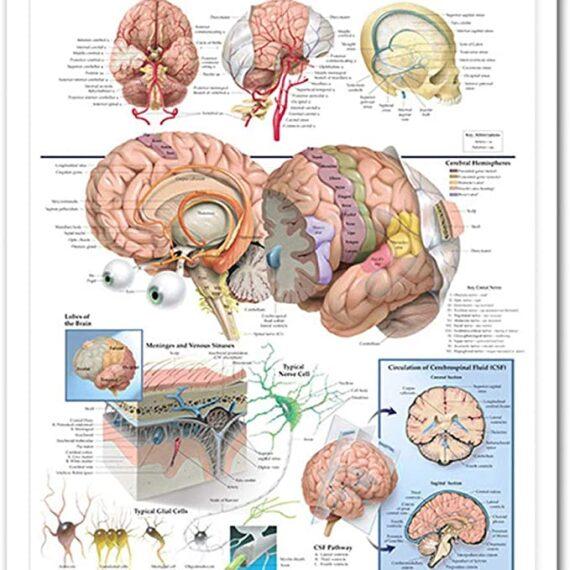 póster cerebro anatómico