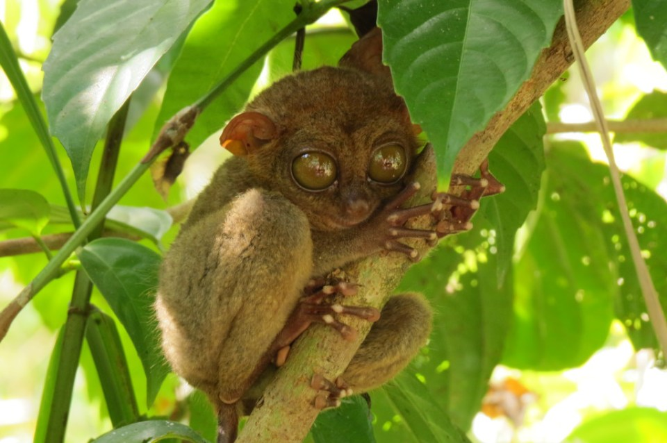tarsier close up