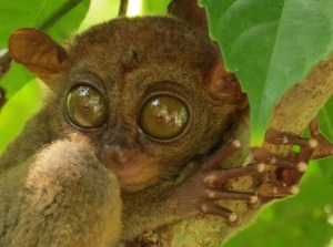Spookdiertje-tarsier-Filipijnen