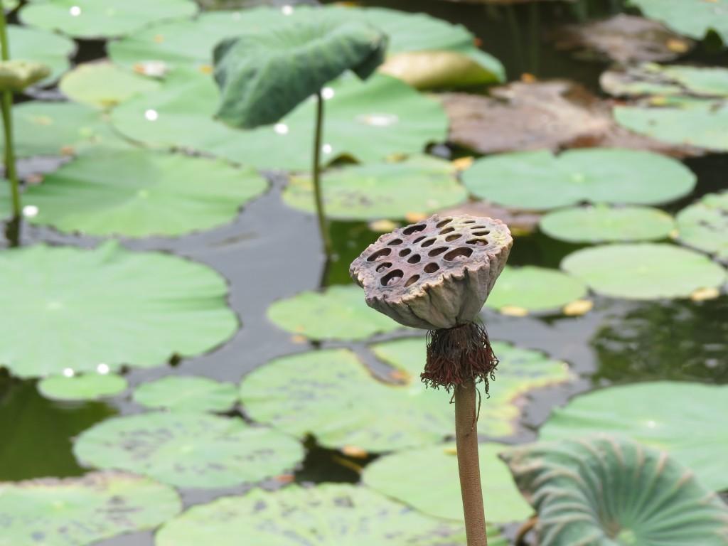 Waterlelies-in-Bali