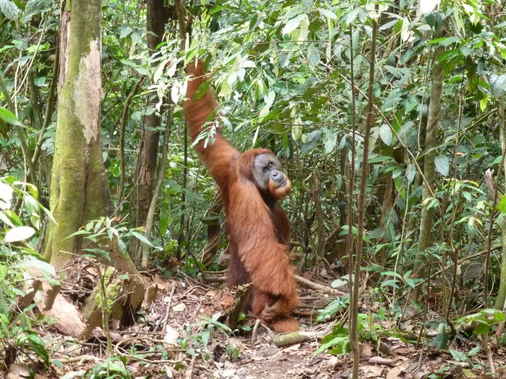 Orang Oetan in Bukit Lawang Sumatra