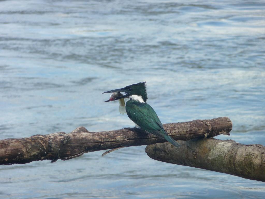 Kingfisher Nicaragua