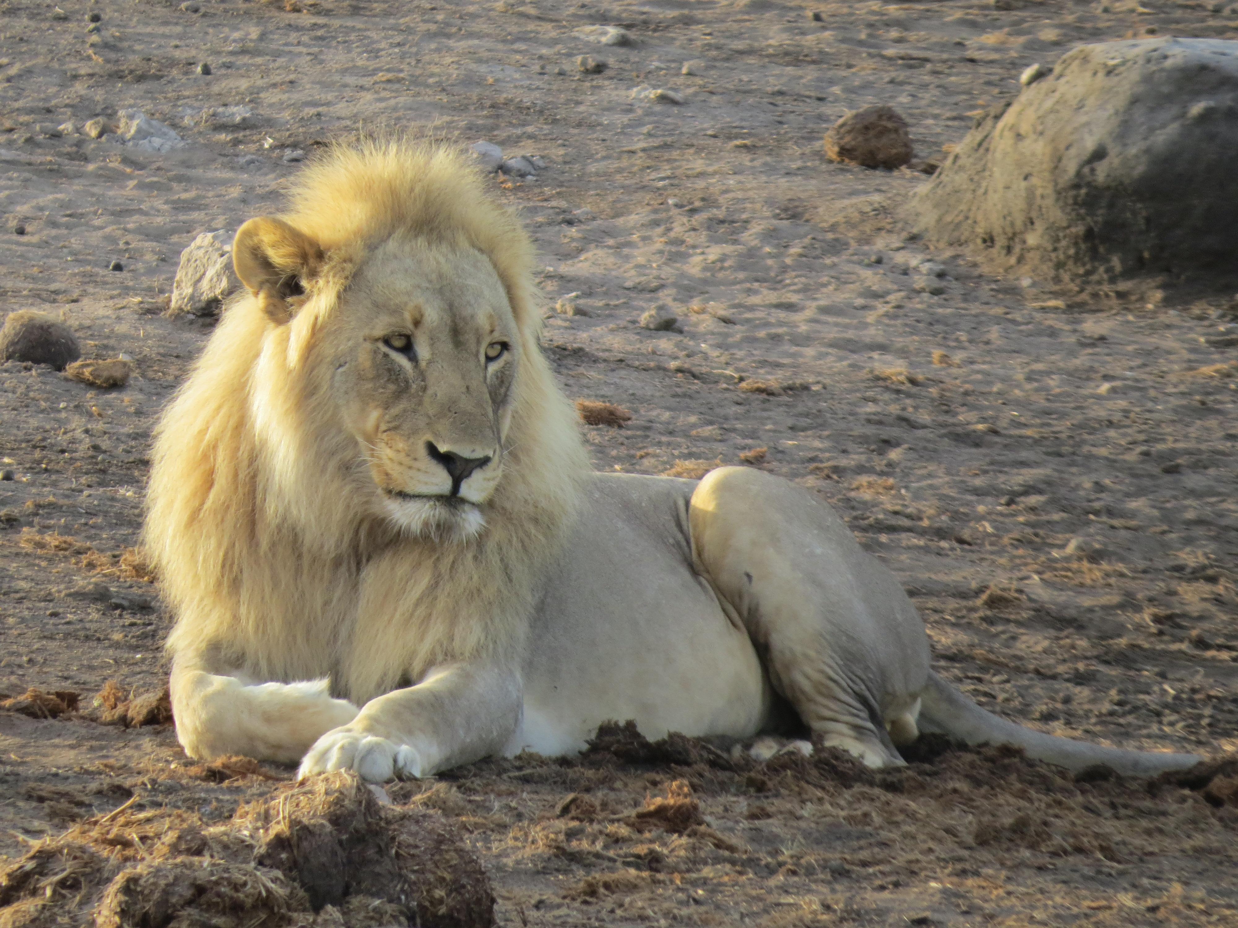 Leeuw wildlife in Zuid-Afrika