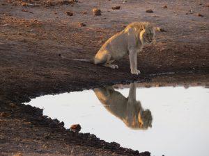 Leeuw in Etosha NP Namibië