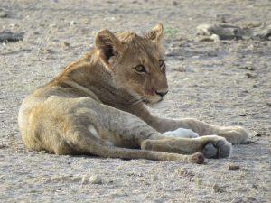 Jonge welp Etosha Namibië