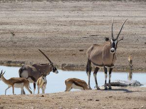 Gemsbok in Etosha National Park