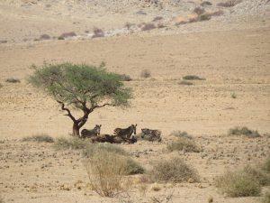 Zebra's in Namib Naukluft Namibië
