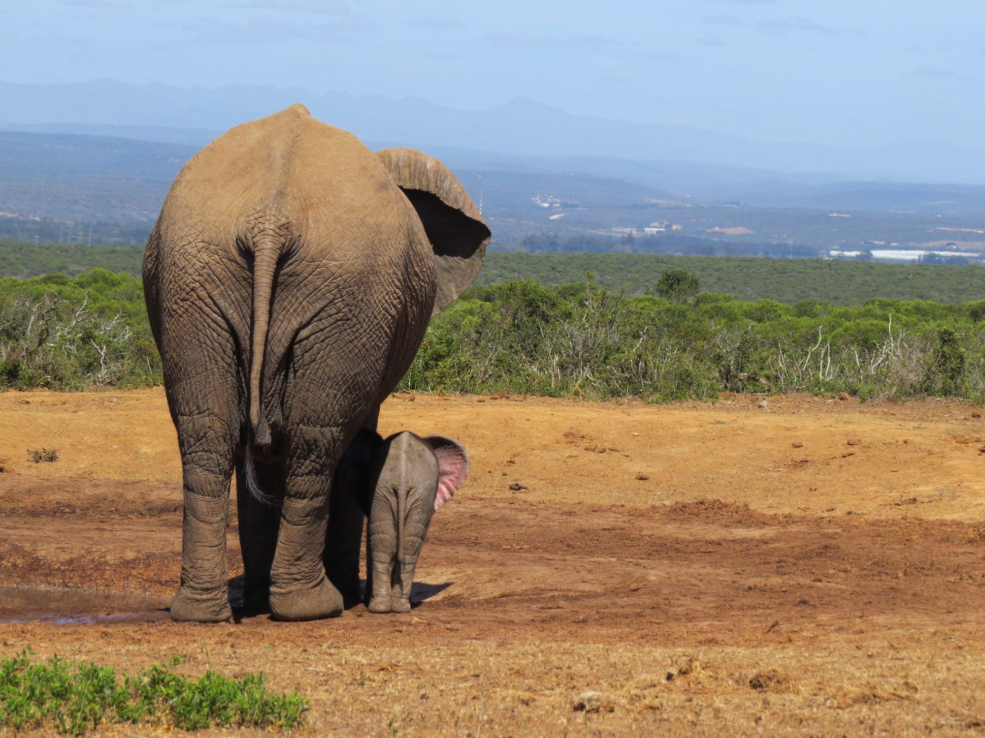 Olifanten in Addo Elephant Park Zuid-Afrika