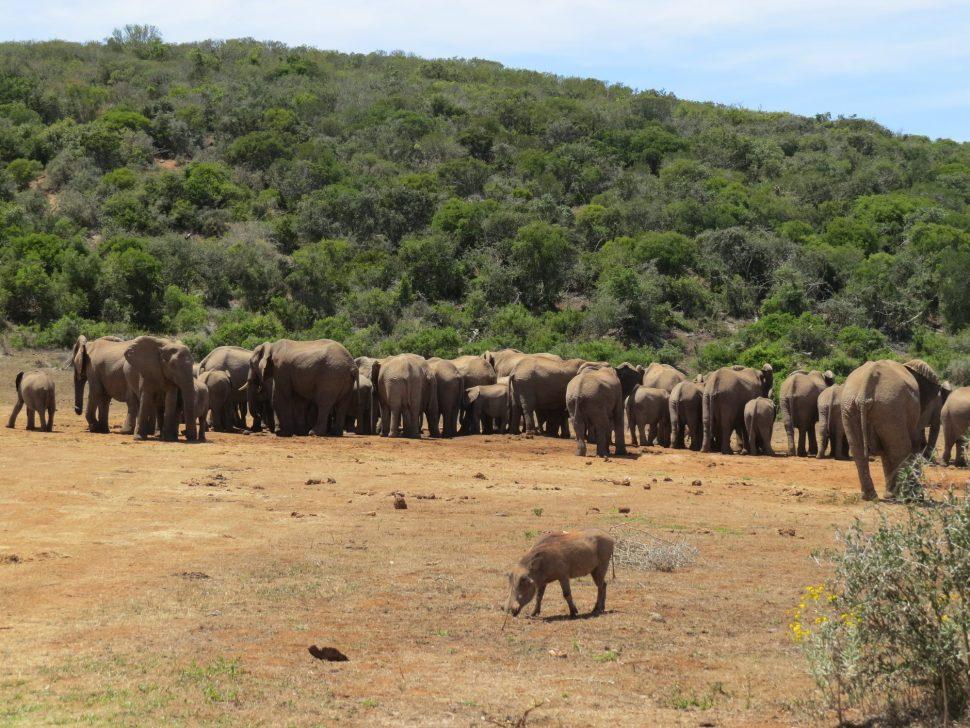 Addo Elephant Park Zuid-Afrika