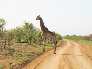 Giraffe in Krugerpark