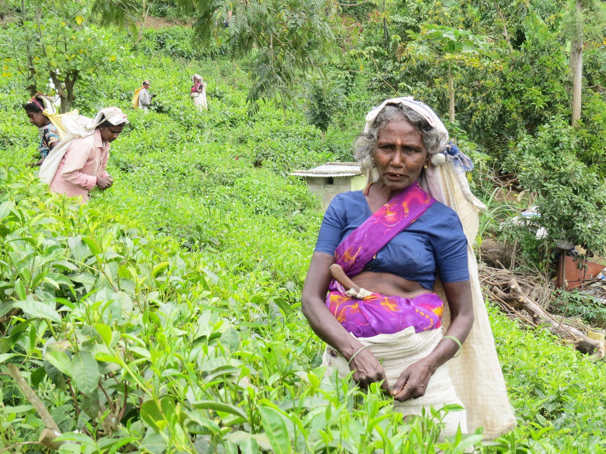 Theeplantage Ella Sri Lanka