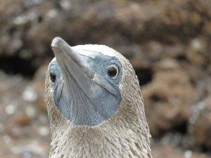 Blue footed booby Galapagos Ecuador