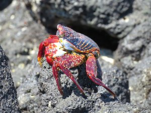 Sally Lightfoot Crab Galapagos Ecuador