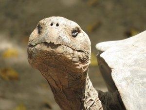 Landschildpad Galapago Ecuador