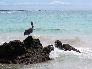 Pelikaan Galapagos Ecuador