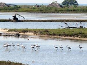 Flamingos Jaffna Sri Lanka