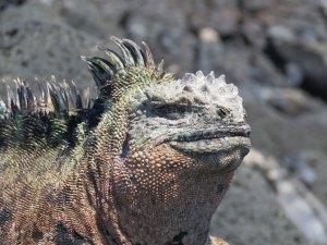 Leguaan Galapagos Eilanden