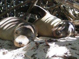 Zeeleeuwen Isabela Galapagos