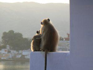 Apen in Pushkar India