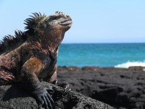 Leguaan op Galapagos Eilanden Ecuador