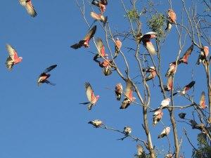 Galah vogels Port Elliot Australië
