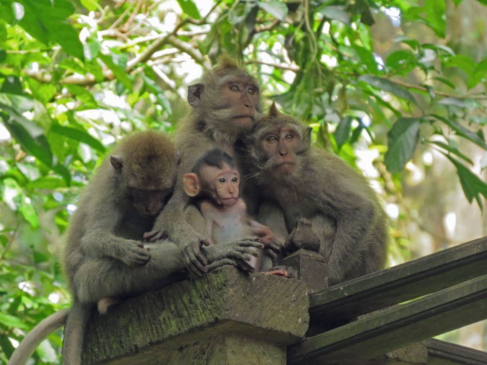 Monkeyforest Ubud Indonesië