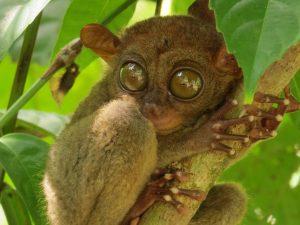 spookdiertje of tarsier op bohol filipijnen
