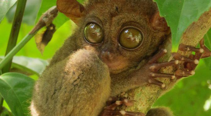 Spookdiertje op Bohol Filipijnen