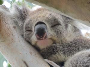 Koala op camping Kennett River Australië