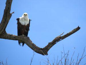 African Fish Eagle in Chobe Botswana