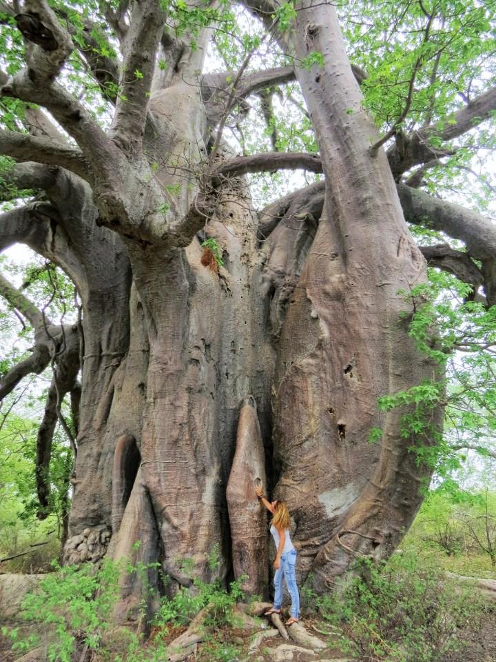 Baobab boom in Botswana