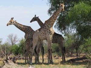 Giraffen in Moremi Botswana