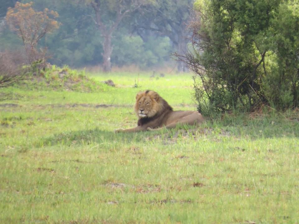 Leeuw in Moremi NP Botswana