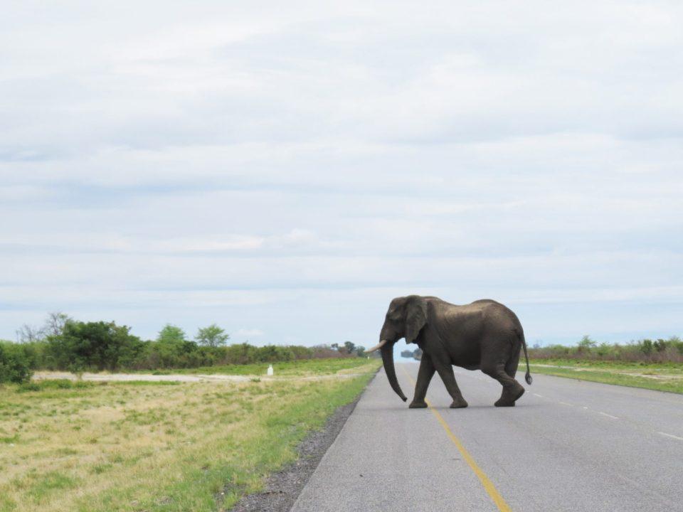 Overstekende olifanten Botswana