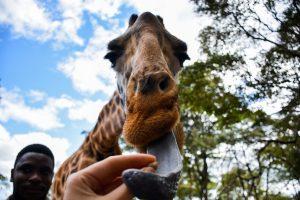 Charlie's Travels - Giraffe Center - Foto Caro Cools