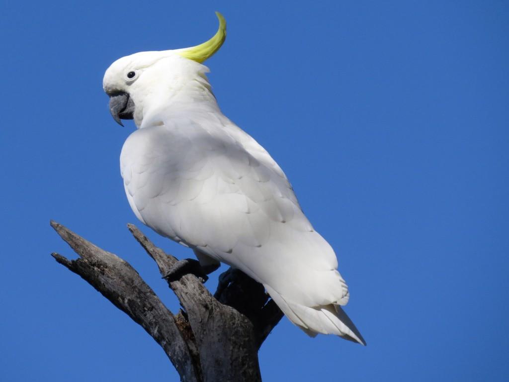 Kaketoe-in-Australie