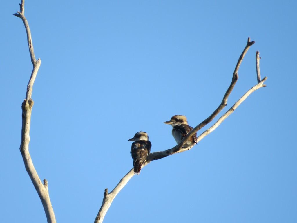 Lachvogels-in-Australie