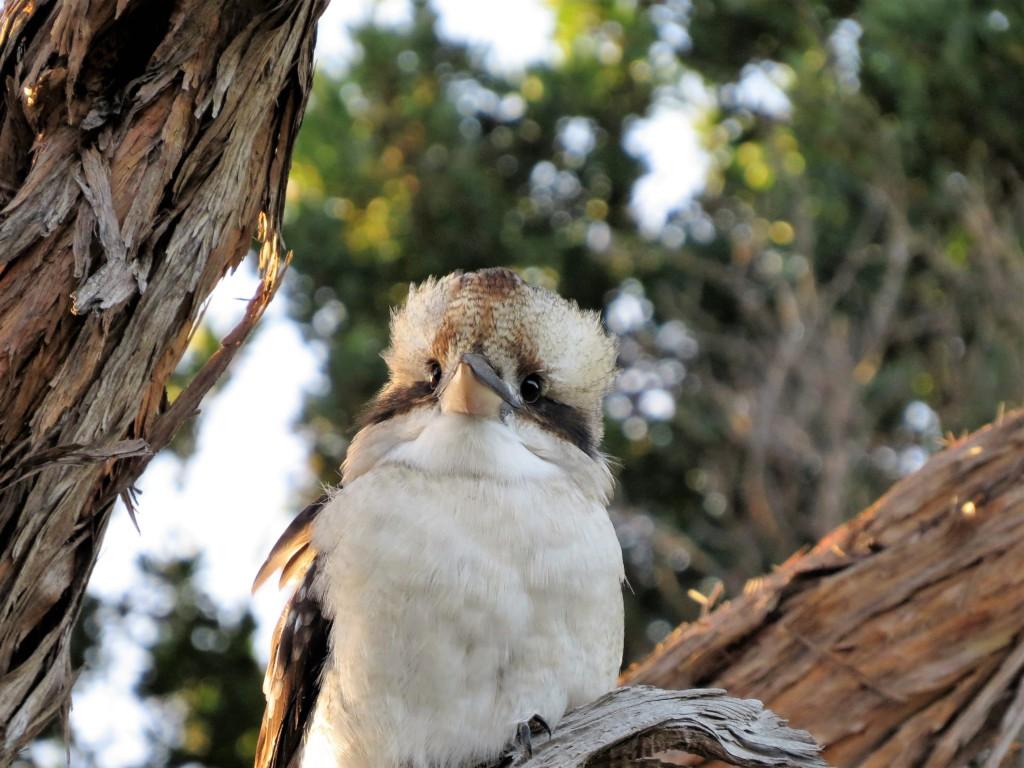 Lachvogel-kookaburra-Australie