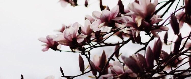 Magnolias by Robin Kay Twentyventi