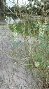 mélilot blanc