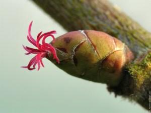 noisetier ethnobotanique fleur naturopathie