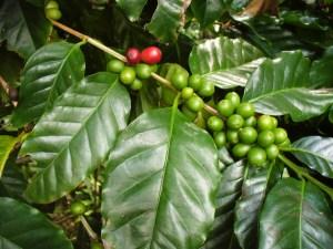 Café arbuste
