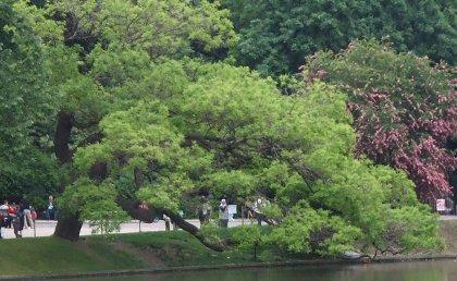 Sophora japonica Styphnolobium japonica