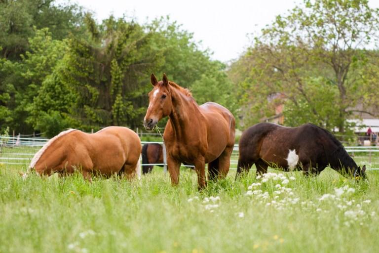 Glückliche Pferde auf der Koppel