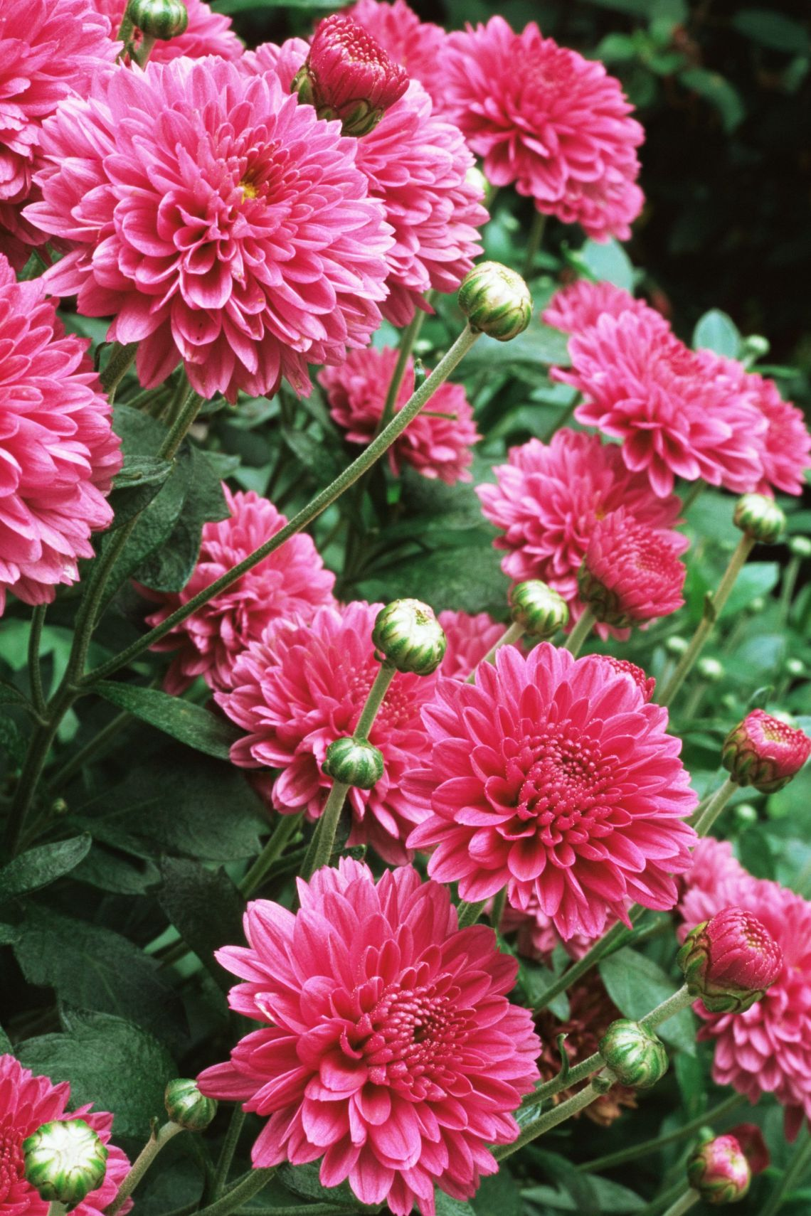 18 Best Fall Flowers And Plants Flowers That Bloom In Autumn